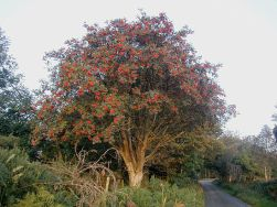 rowan-tree-wiki-common-licence-800px-rowan_tree_20081002b