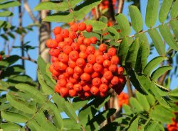 rowan-tree-wiki-common-licence-rowanberries_in_late_august_2004_in_helsinki