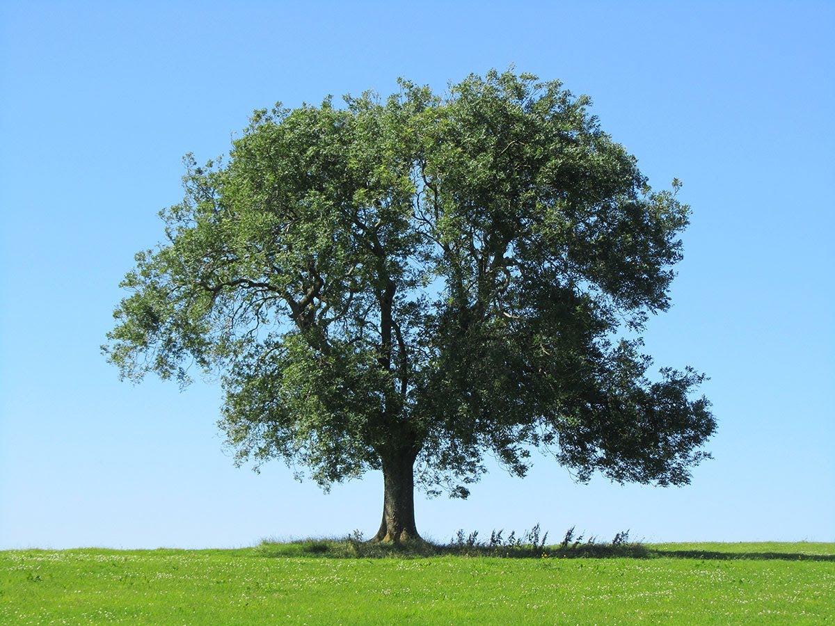 ash-tree-nc