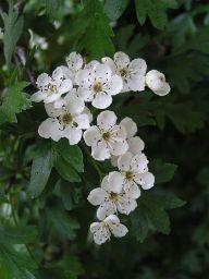 hawthorn_flowers