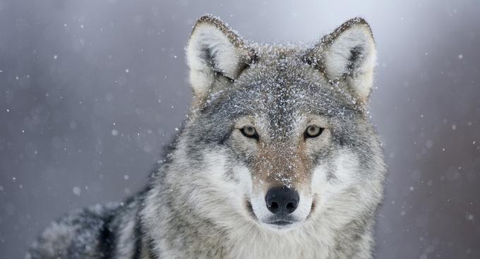 spring wolf